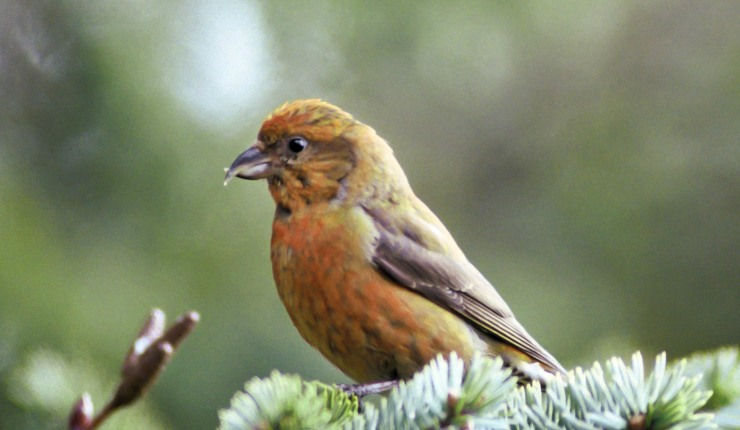 crossbill bird